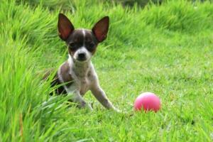 Ballwurfmaschine für Hunde glücklich