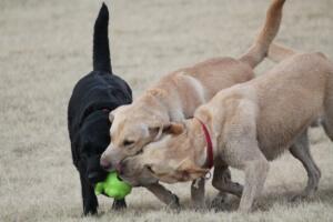 hunde fangen ball aus Ballwurfmaschine